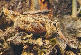 beccaccia Predazzo   Ziano di Fiemme, carcasse di selvaggina abbandonate da cacciatori di frodo nei torrenti