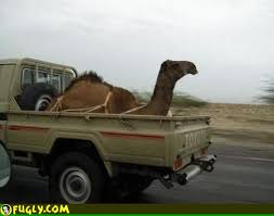 Weird Creations with Camels