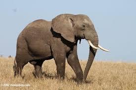 الفيل و افنسان ( الفيل الأفريقى ) Kenya_2808