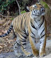 Tiger_Royal_Bengal_Bandavgarh.jpg