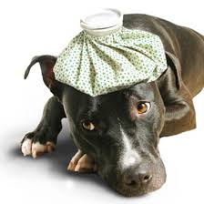 canebull Vaccinazione antirabbica per i cani, che sono 1.685 in Val di Fiemme e oltre 600 in Val di Fassa.