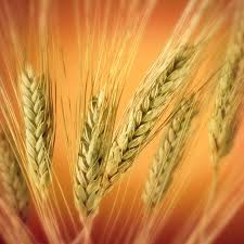 الخضروات wheat.bmp