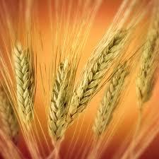 ملف شامل عن فيتامينات الجمال wheat.bmp