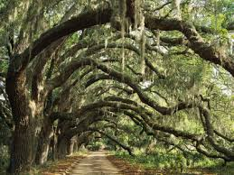 Ancient Live Oak Trees in