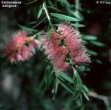 Callistemon salignus