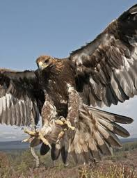 golden eagle breeding