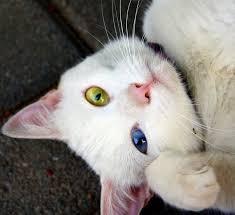 mata kucing beda warna