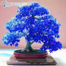 aliexpress com buy 50pcs bag bonsai blue maple tree seeds rare