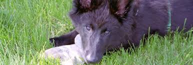 belgian sheepdog breeders in texas belgian sheepdog club of america