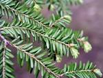 Ecology 271 &gt; Cole &gt; Flashcards &gt; Mountain <b>Coniferophyta</b> | StudyBlue