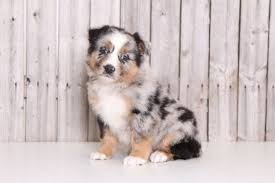 australian shepherd queen creek az australian shepherd puppy for sale in mount vernon oh adn 28134