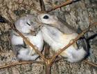 Image result for Pteromys momonga