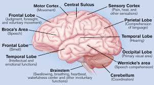Sheep Brain Anatomy Game Human Brain Anatomy And Its Functions Labeled Brain Parts Human