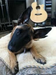 belgian sheepdog breeders in texas 30 best belgian malinois puppies dogs images on pinterest