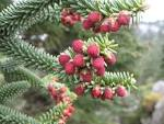 Image result for Abies pinsapo