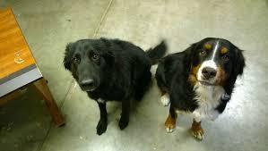 belgian sheepdog chow mix belgian sheepdog border collie mix puppy