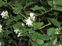 Bunga melati putih (Jasminum sambac Air)Photo by wikipedia