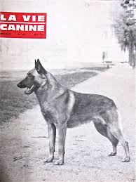 belgian shepherd uk breeders note to the american public belgian malinois look don u0027t touch