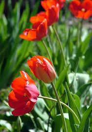 На фото - тюльпаны.