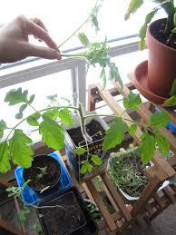 pruning your indoor tomato plants hobbyjunkies