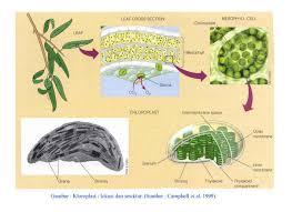 Kloroplast Nedir – Kloroplast Hakkında Bilgi