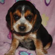 bluetick coonhound puppies for sale in ohio spring creek beagles