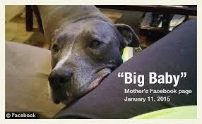 Dog Bite Fatality  Family Pit Bull Kills Baby Boy in Dallas  Texas DogsBite Blog   DogsBite org