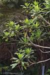 Image result for Clermontia peleana