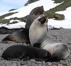 Antarctic fur seals enjoying the summer    Getty Images Kidcyber