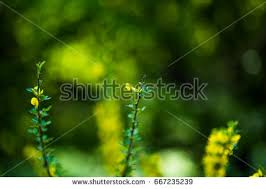 Tree With Bright Yellow Flowers - wattle tree stock images royalty free images u0026 vectors shutterstock