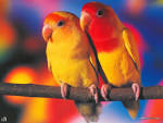 Love Birds Wallpapers Beautiful Pictures (love birds pictures lovebirds beautifulbirds picturespool Wallpapers blogspot 1024x768)