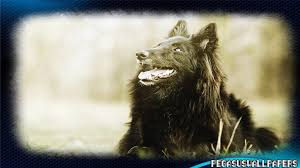 belgian shepherd uk breeders belgian shepherd wallpaper android apps on google play