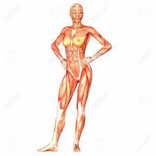 Human Anatomy And Physiology Marieb 9th Edition Quizzes Human Anatomy