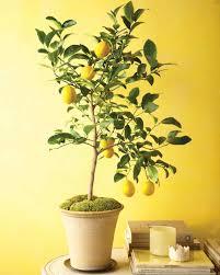 grow citrus indoors martha stewart