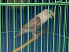 ada jual lovebird, love bird, burung lovebird, burung love bi...