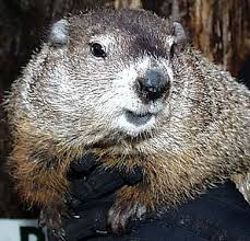 Punxsutawney Phil is a
