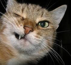 القطط المشاكسة images?q=tbn:ANd9GcQ