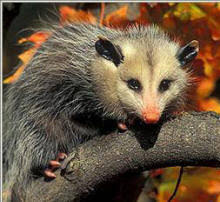 How Do You Get Rid Of Possums In The Backyard by Opossum Faq Opossum Society Of The United States