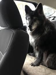 belgian sheepdog chow mix watchlords u2022 view topic my best friend