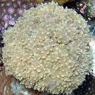 Image result for Physogyra lichtensteini