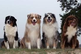 australian shepherd diseases australian shepherd dog information for owners