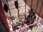 Chim - Chim <b>chích chòe</b> đất <b>non</b> đút ăn ( Sài Gòn )