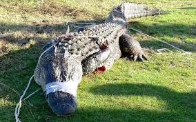 alligator sightings on fripp island a daily occurence residents