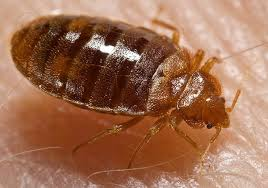 X Box Pics On A Bed Bed Bug Wikipedia