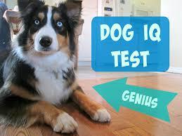 australian shepherd qualities testing my australian shepherd u0027s intelligence dog iq test youtube