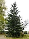 Image result for Pseudotsuga menziesii