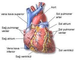 Kalbin Görevleri