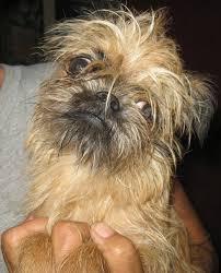 affenpinscher brown five ugly dog breeds pethelpful