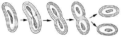 Bakterilerde Çoğalma