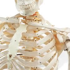 Life Size Skeleton Halloween by Human Skeleton Model Skeleton Models Human Skeletal System